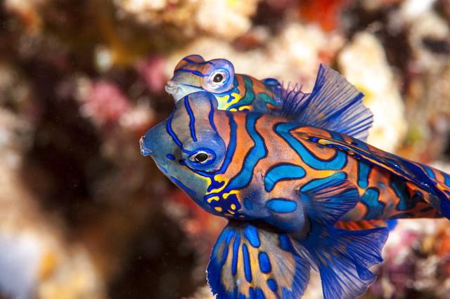 Foto Il Pesce Mandarino