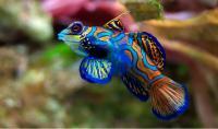 pesce mandarino colorato
