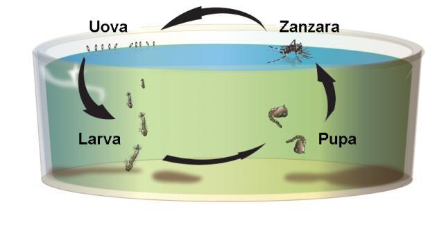 ciclo vita zanzara