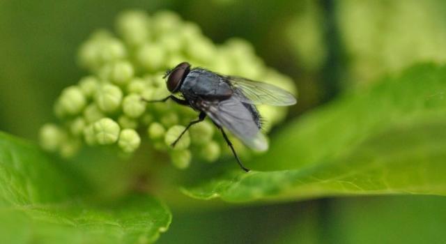 Foto Quanto vive una mosca?
