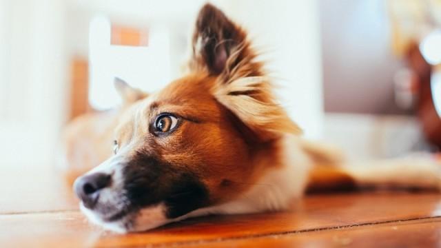 cane occhi