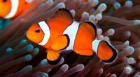 Foto Pesce pagliaccio: caratteristiche, cure e alimentazione