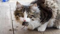 Foto Come sapere se il Gatto ha la toxoplasmosi?