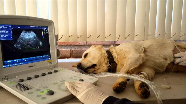 ecografia alla prostata cane costos