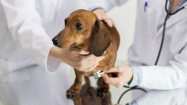 Foto Malattie muscolari nel Cane: sintomi, cause e trattamento