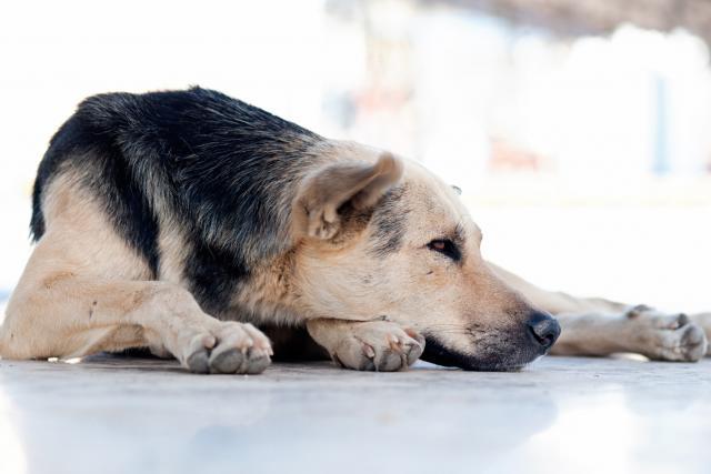 Foto Malattie del sangue nel Cane