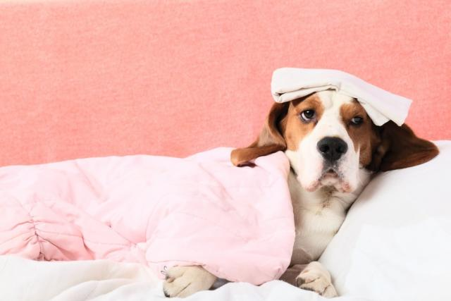 Foto Brucellosi nel Cane: sintomi e trattamento