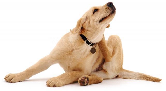 Foto Labrador allergico: cause e trattamento