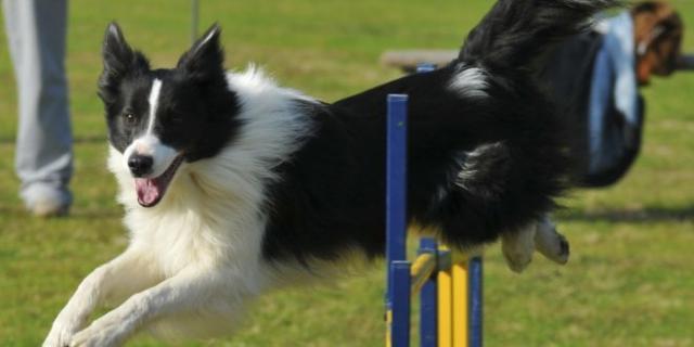 sport cane agility