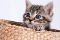 gatto meticcio