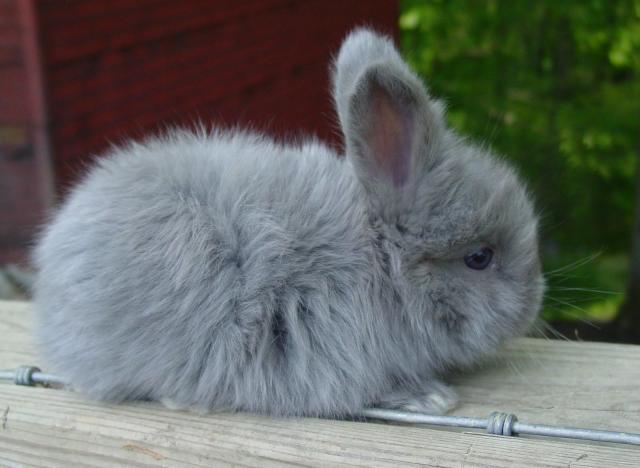 coniglio angora inglese