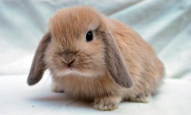 coniglio mini lop