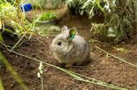 coniglio pigmeo della columbia