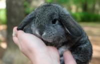 coniglio olandese nano