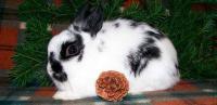 coniglio polacco nano