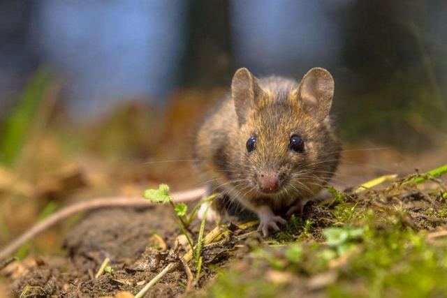 Foto Quanto vive un ratto?