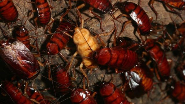 Foto Quanto vive uno scarafaggio?