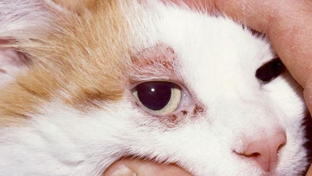Foto Dermatite solare nei gatti: cause e trattamento