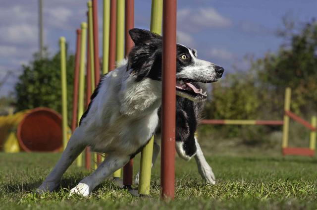 cane agility