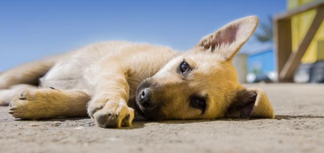 Foto Spondiloartrosi nel Cane: sintomi, trattamenti, cure