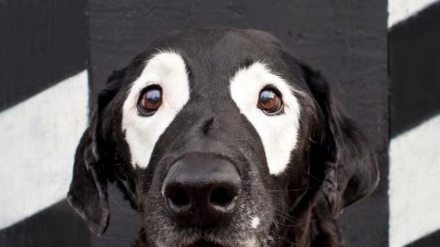 Foto Vitiligine nel Cane: cause, sintomi e trattamento