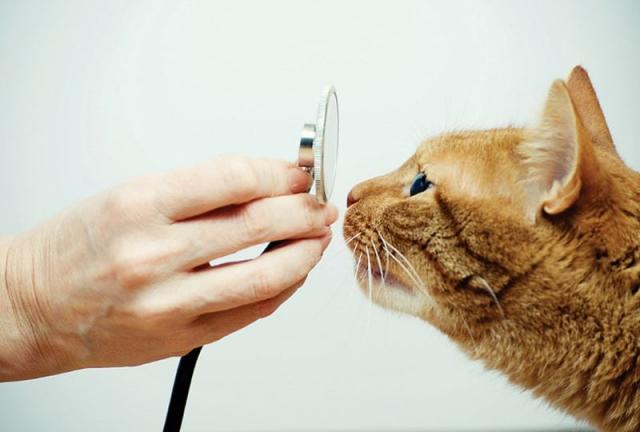 gatto bronchite