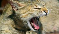 bronchite asmatica gatto