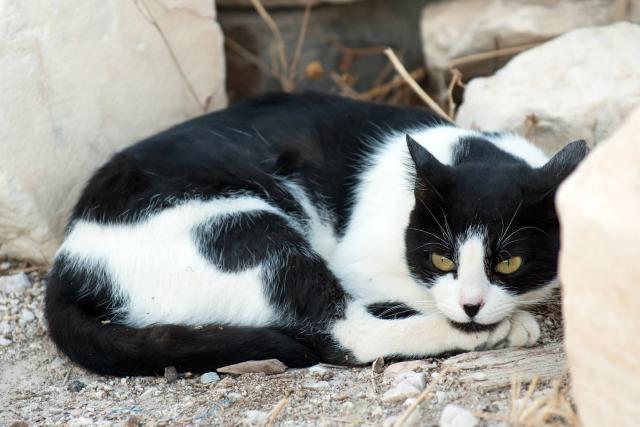 Foto Ascite nel Gatto: cause, sintomi e cure