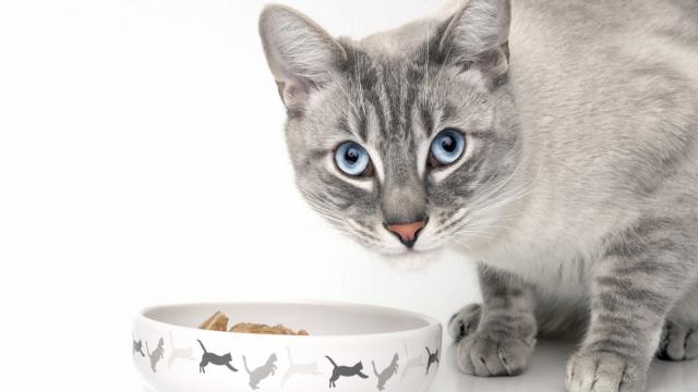 gatto cibo anemia
