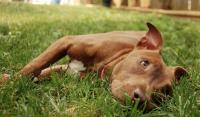 Foto Tracheite nel Cane: cause, sintomi e cure