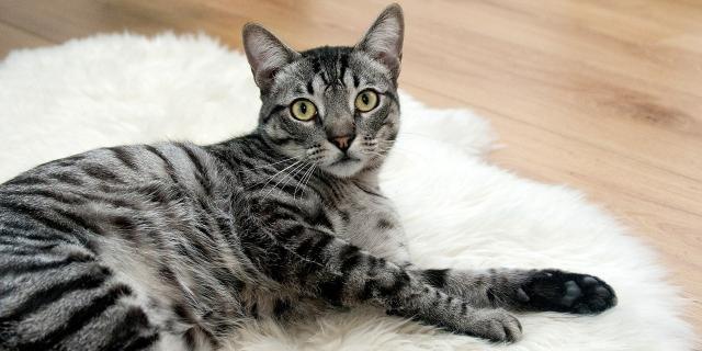 Foto Virus della panleucopenia nel Gatto
