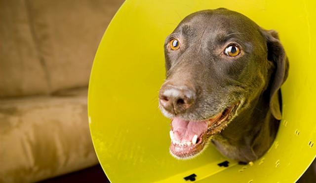 collare elisabettiano cane sterilizzazione