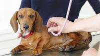 Foto Soffio al cuore nel Cane: cause, sintomi e cure