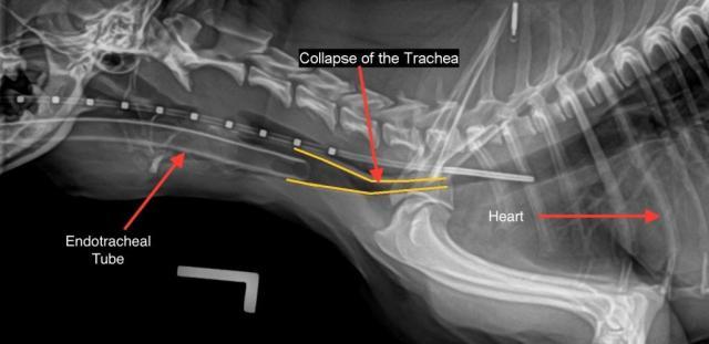 problema trachea cane
