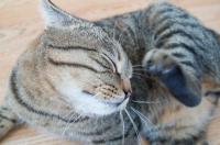 Foto Perchè il gatto si gratta le orecchie?