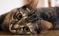 orecchie gatto
