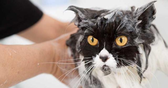 shampoo al gatto