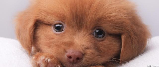 occhi cucciolo cane