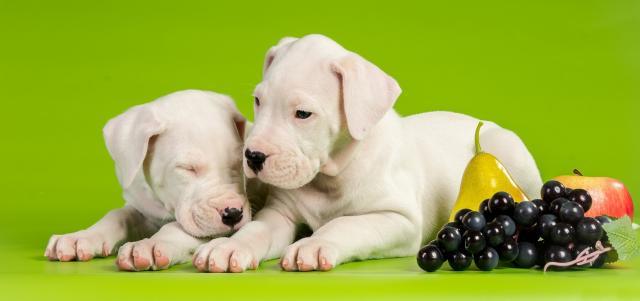 cani mangiano uva