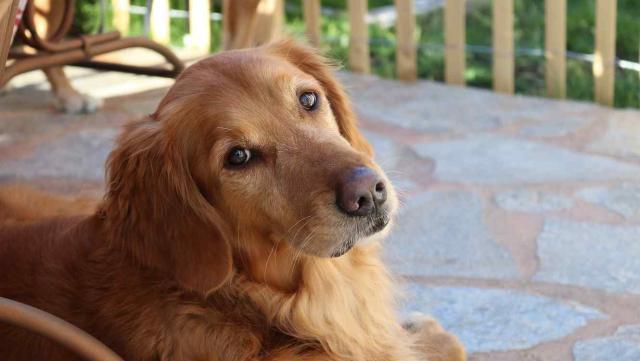 Foto Polmonite nel Cane: cause, sintomi e trattamento