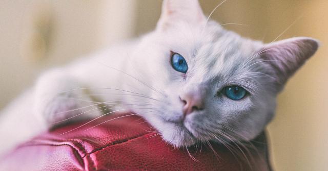 Foto Polmonite nei gatti: cause, sintomi e trattamento