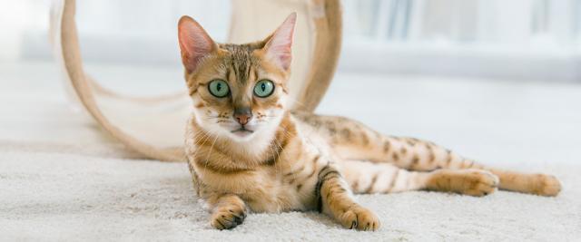 polmonite nel gatto