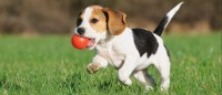 beagle per bambini