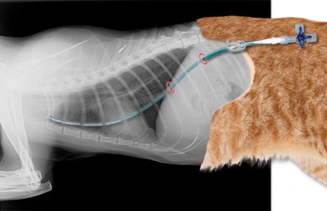 piotorace nel gatto