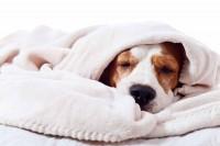 Foto Piotorace nel cane e gatto: cause, sintomi e trattamento