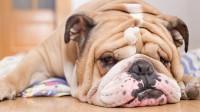 Foto Il cane sviene: sincope nei Cani