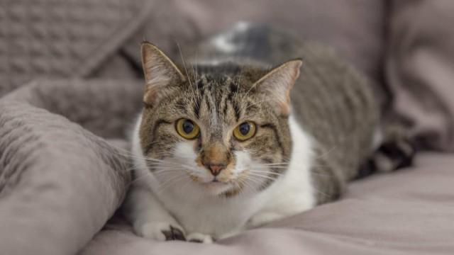 Foto Il Gatto può mangiare fegato?