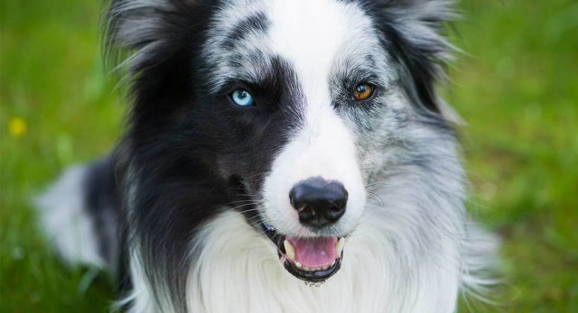 eterocromia nel cane