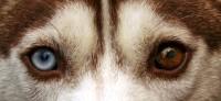 Foto Eterocromia: quando il cane ha gli occhi di colore diverso