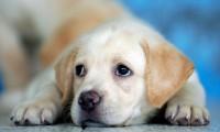 Foto Displasia del gomito nel Cane: cause, sintomi e trattamento
